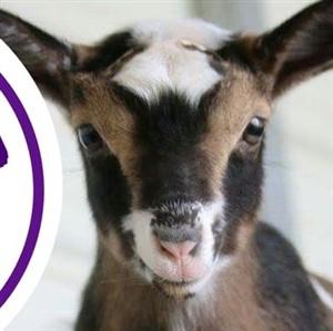 Headshot of baby goat